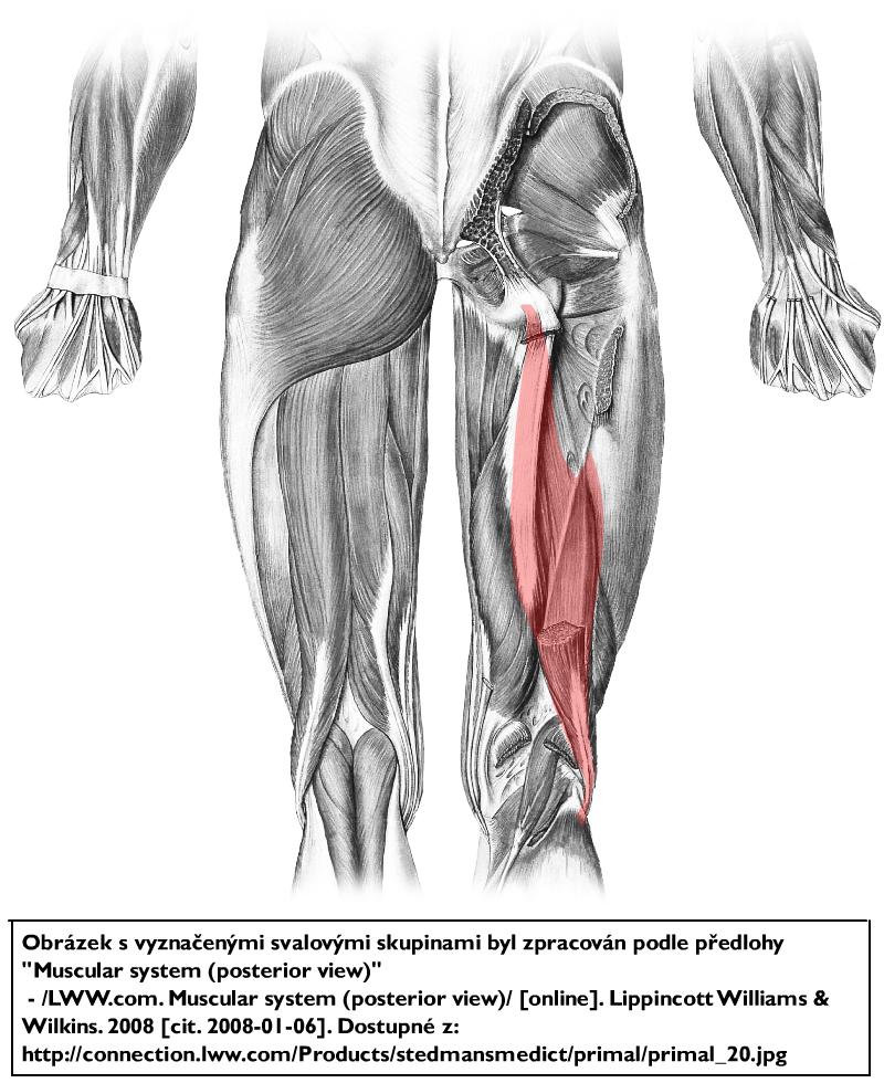 Hip Thrust Workout as well Indexe moreover Anatomische Lichaamsvlakken En Plaatsaanduidingen besides 48mast likewise Koleno flex ext. on vastus medialis