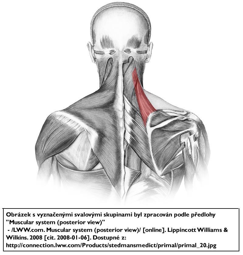 Musculus levator scapulae || Med-koM