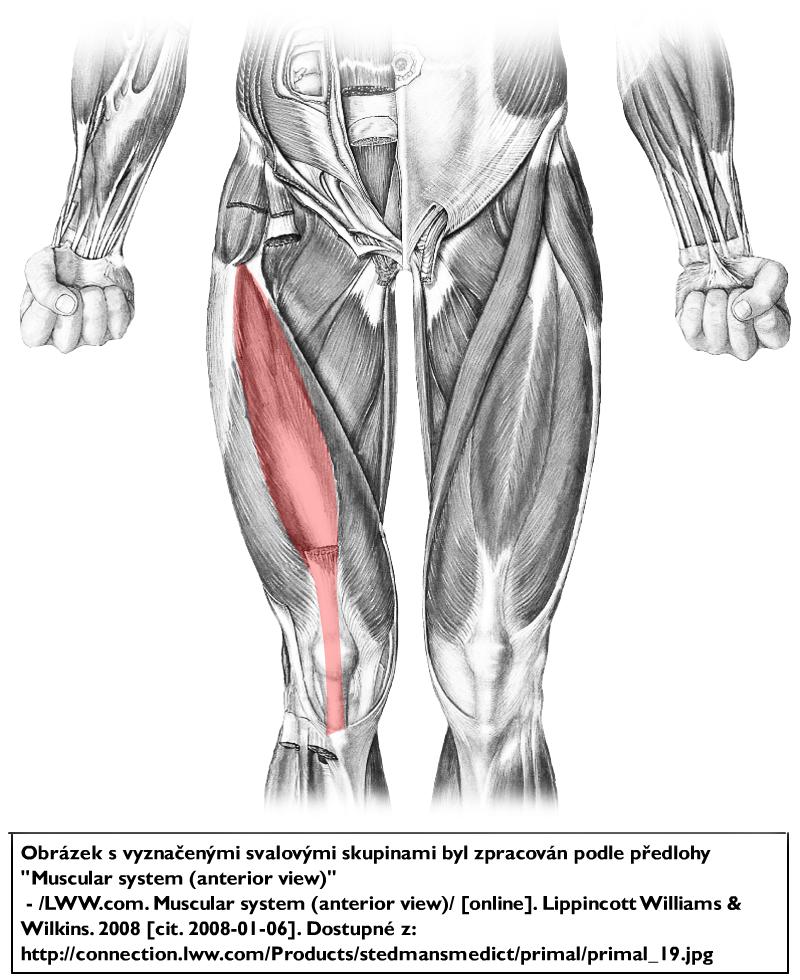 Musculus vastus intermedius – Wikipedia