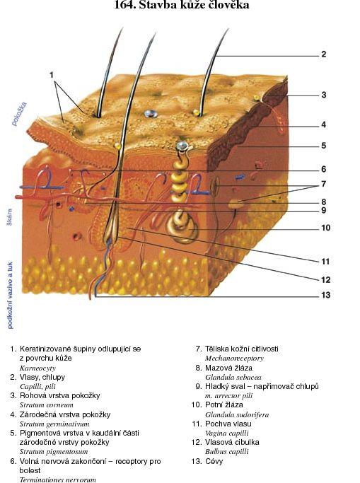 Základy anatomie soustavy dýchací cb77bfdb51