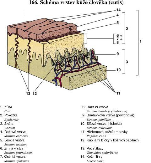 Schéma vrstev kůže člověka (cutis) 26b4846b8d
