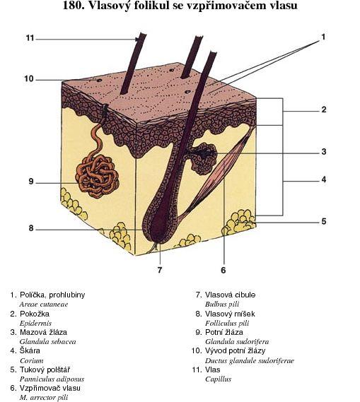 Vlasový folikul se vzpřimovačem vlasu dc7ffc19f8