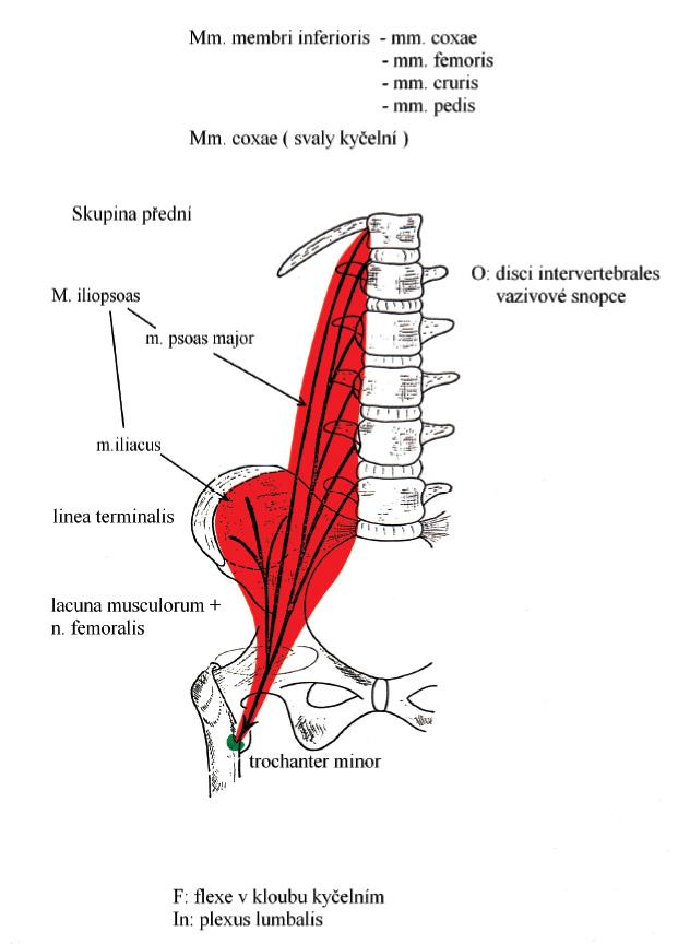 Základy anatomie pohybového ústrojí | Fakulta sportovních studií ...