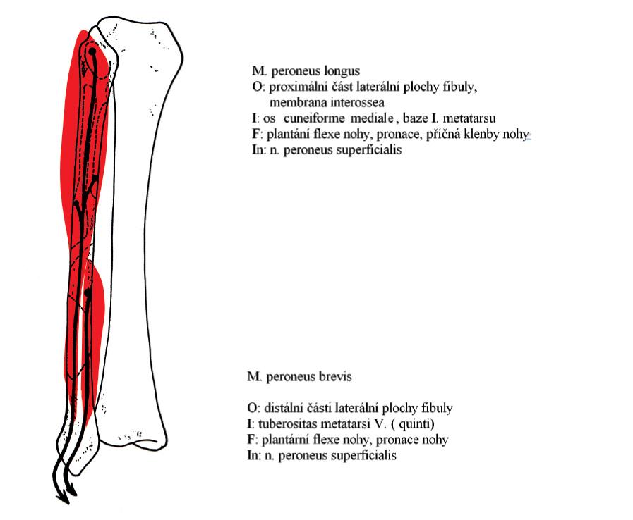 tuberositas glutea femoris