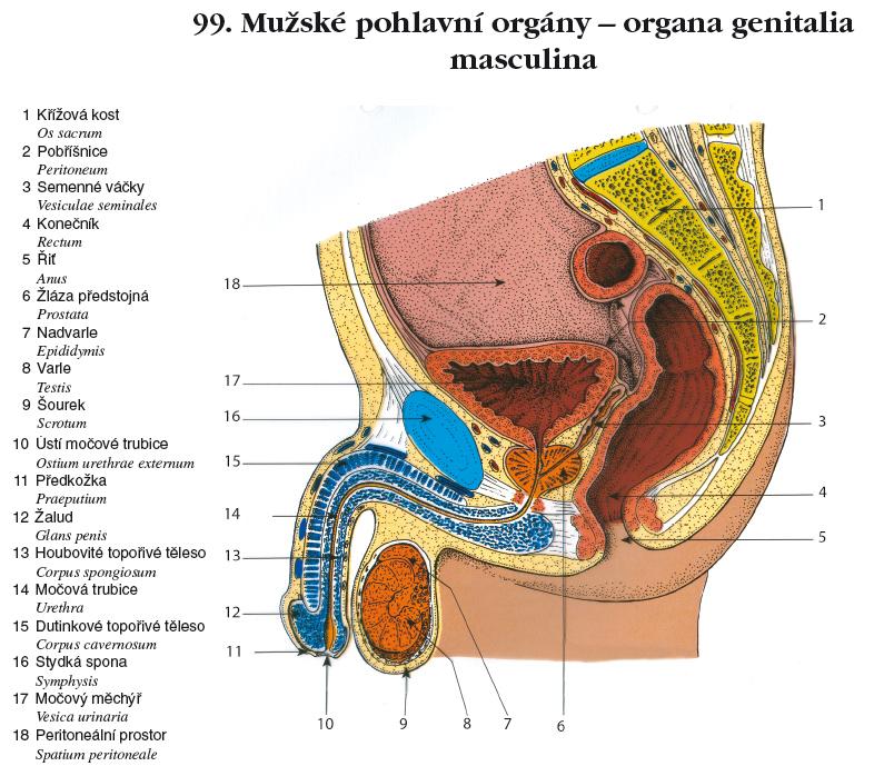 Erfreut Anatomie Des Skrotum Fotos - Menschliche Anatomie Bilder ...