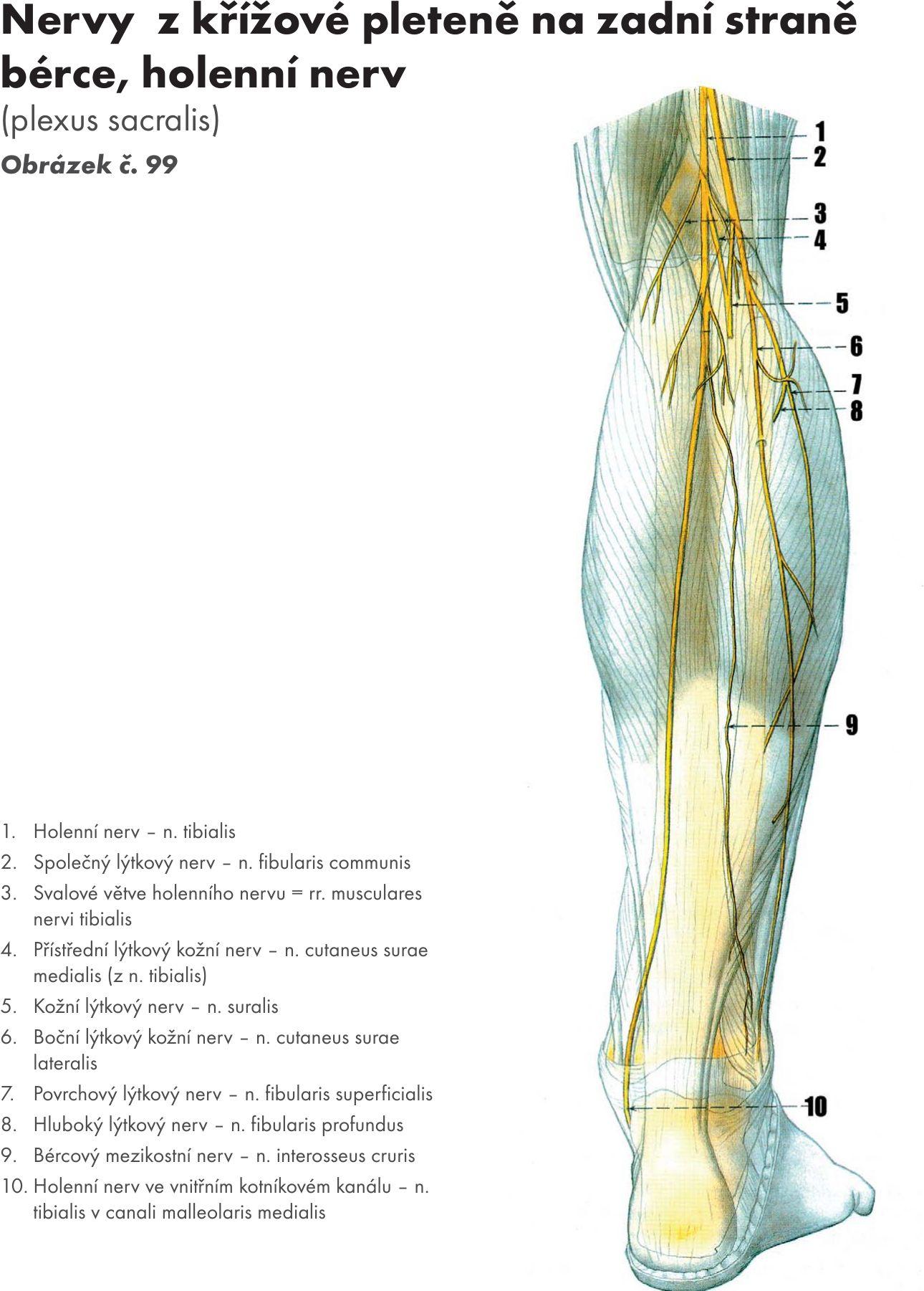 Ungewöhnlich Kiefernerv Anatomie Bilder - Anatomie Von Menschlichen ...
