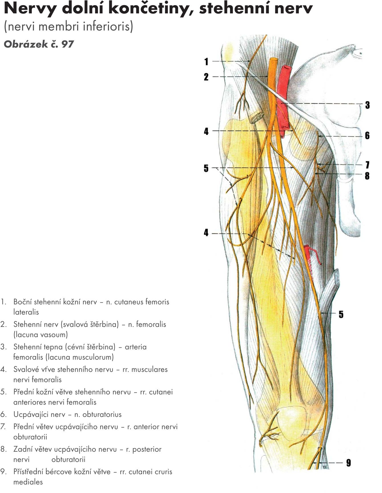 Fantastisch N.femoralis Anatomie Ideen - Menschliche Anatomie Bilder ...