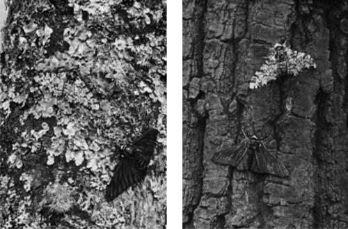 Björkmätare (Biston betularia) i spräcklig och svart variant.