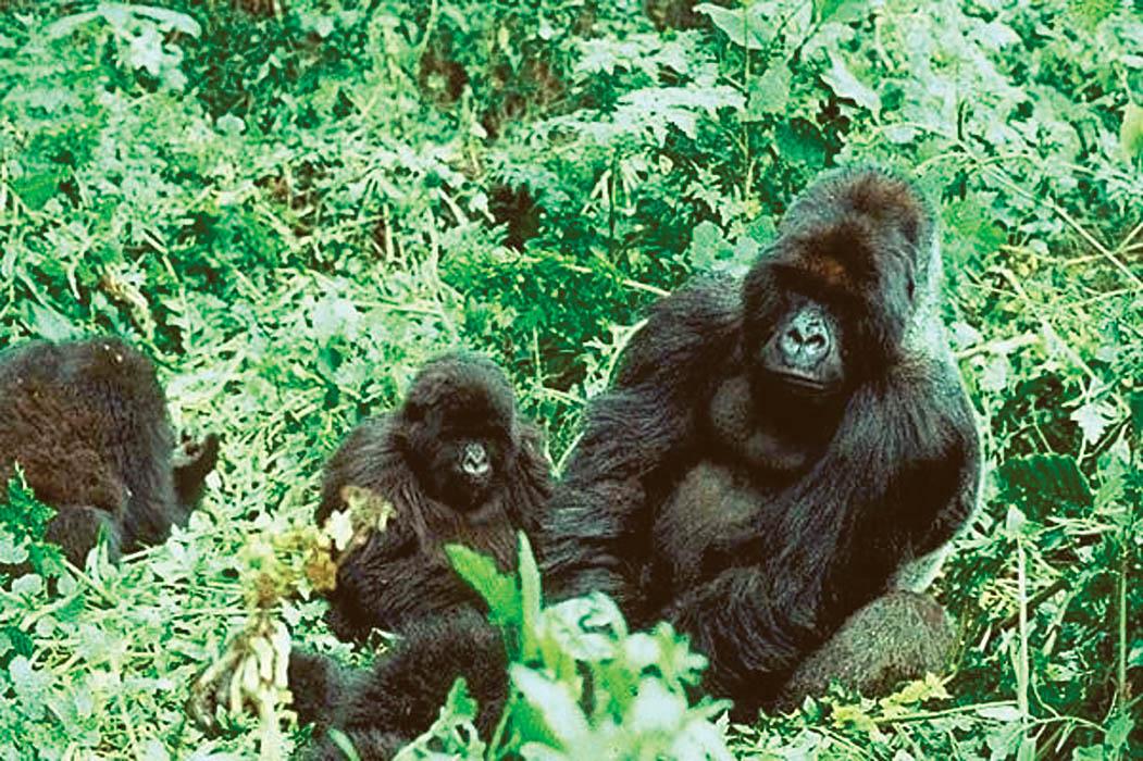 jak velký je gorila penis
